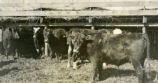 Cattle in feeding experiment 1916