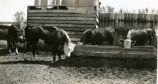 Cattle used in feeding experiments 1933