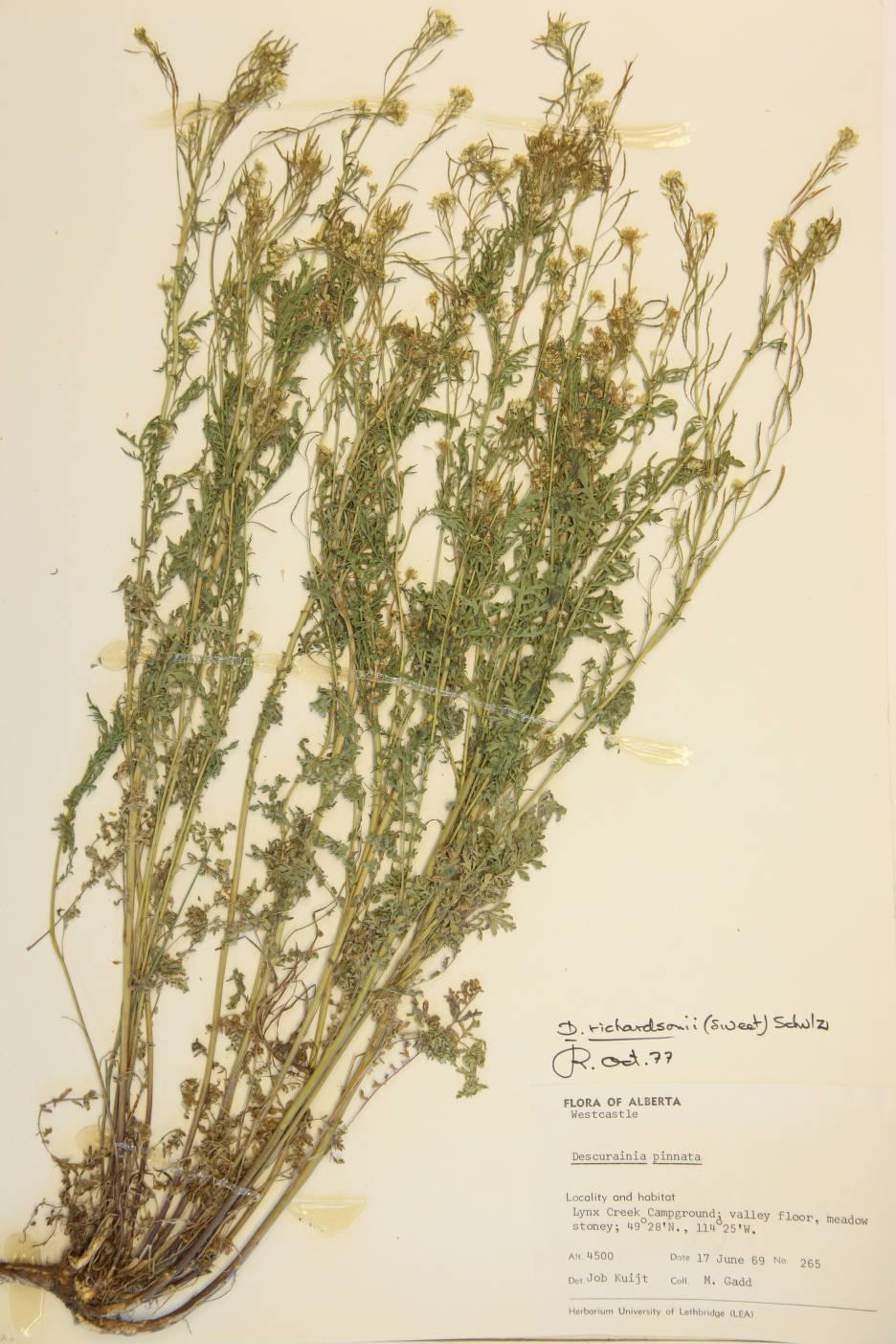 Descurainia incana subsp. incana image