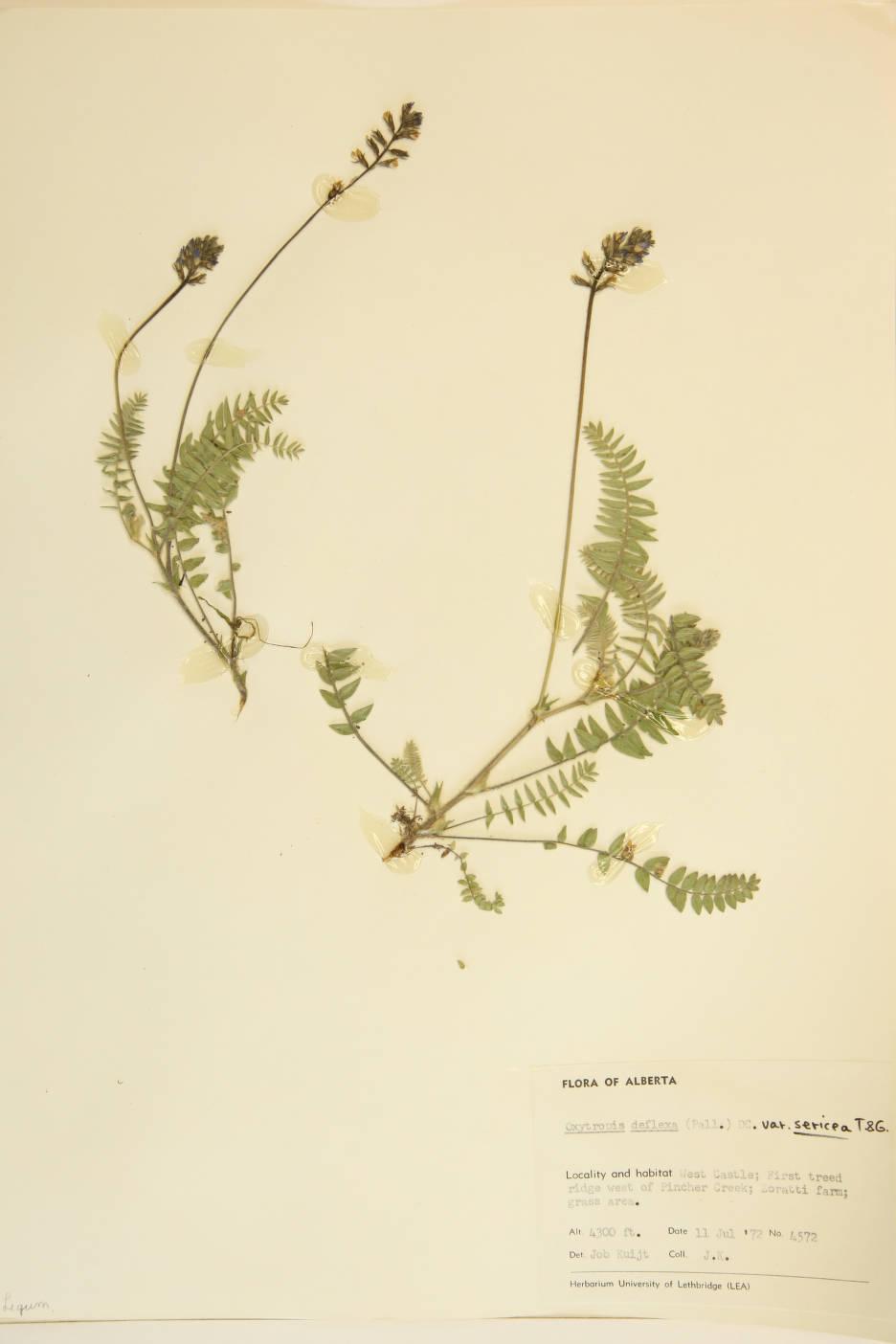 Oxytropis deflexa var. sericea image