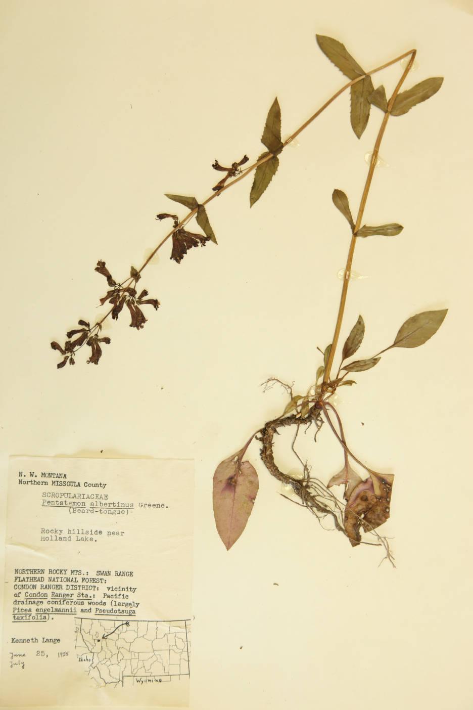 Penstemon albertinus image
