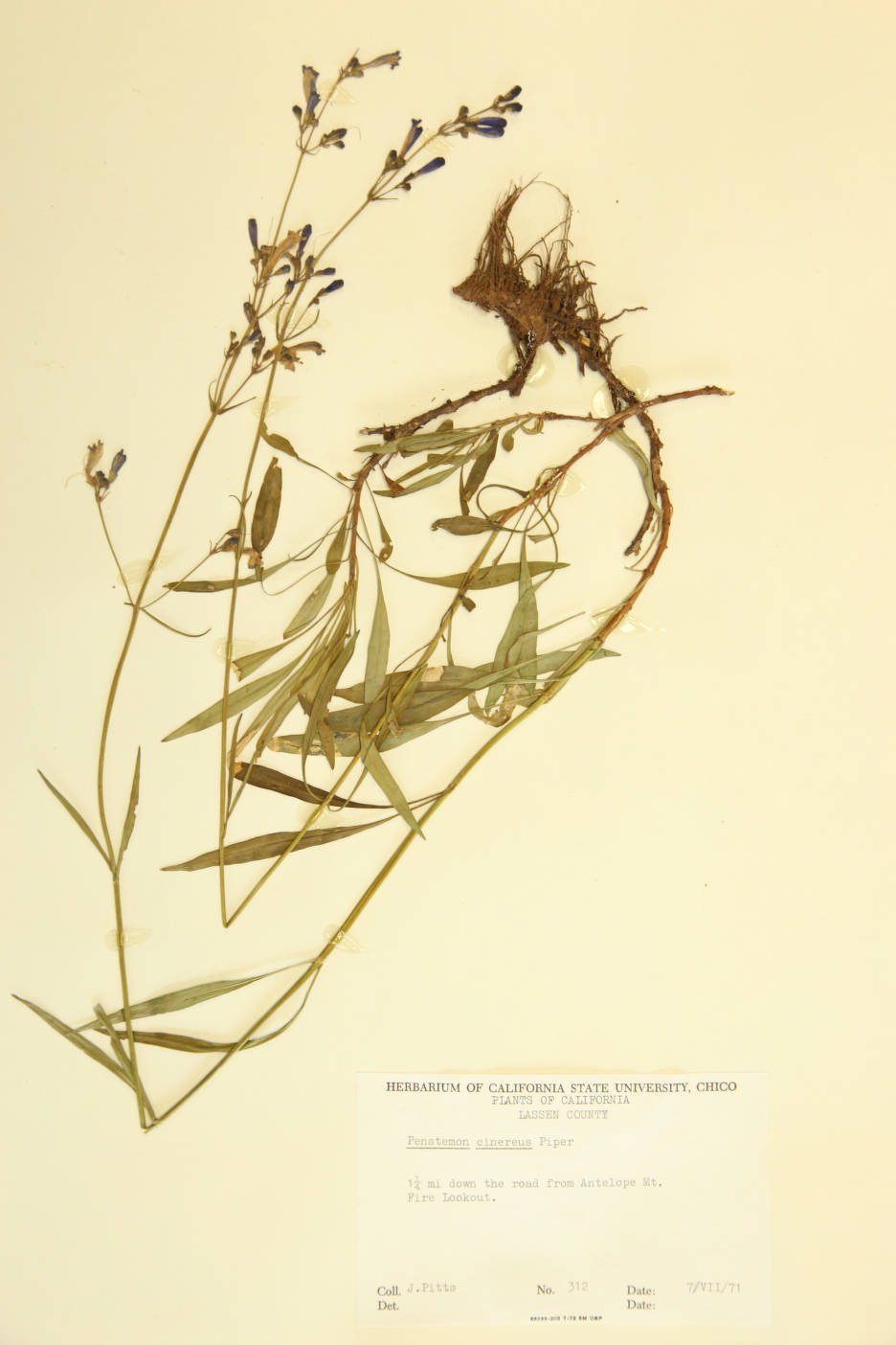Image of Penstemon cinereus