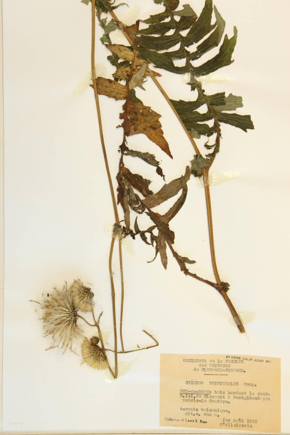 Image of Cirsium erisithales