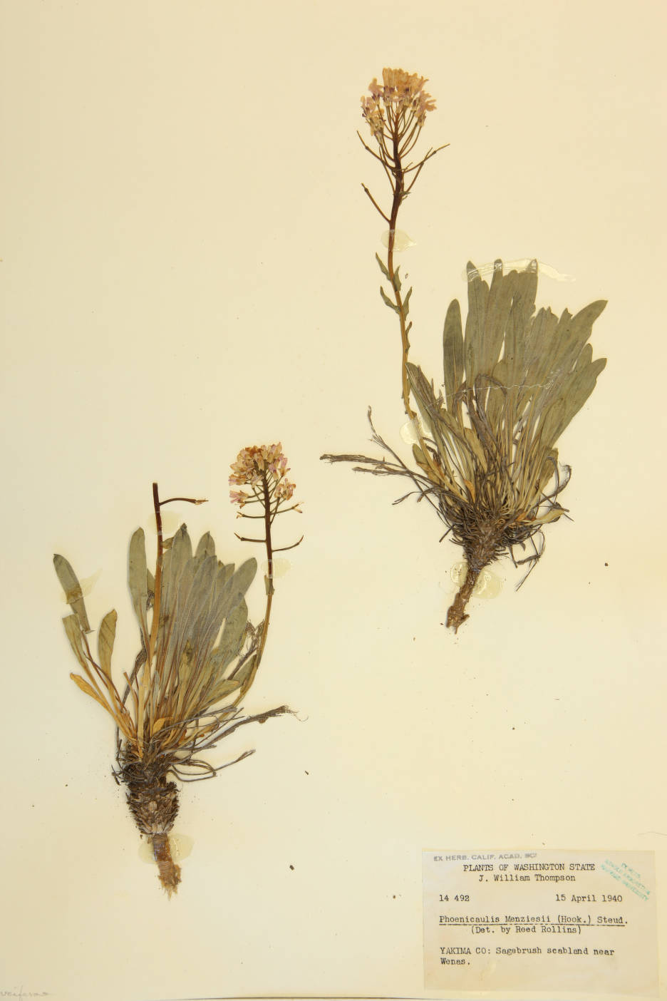 Image of Phoenicaulis menziesii