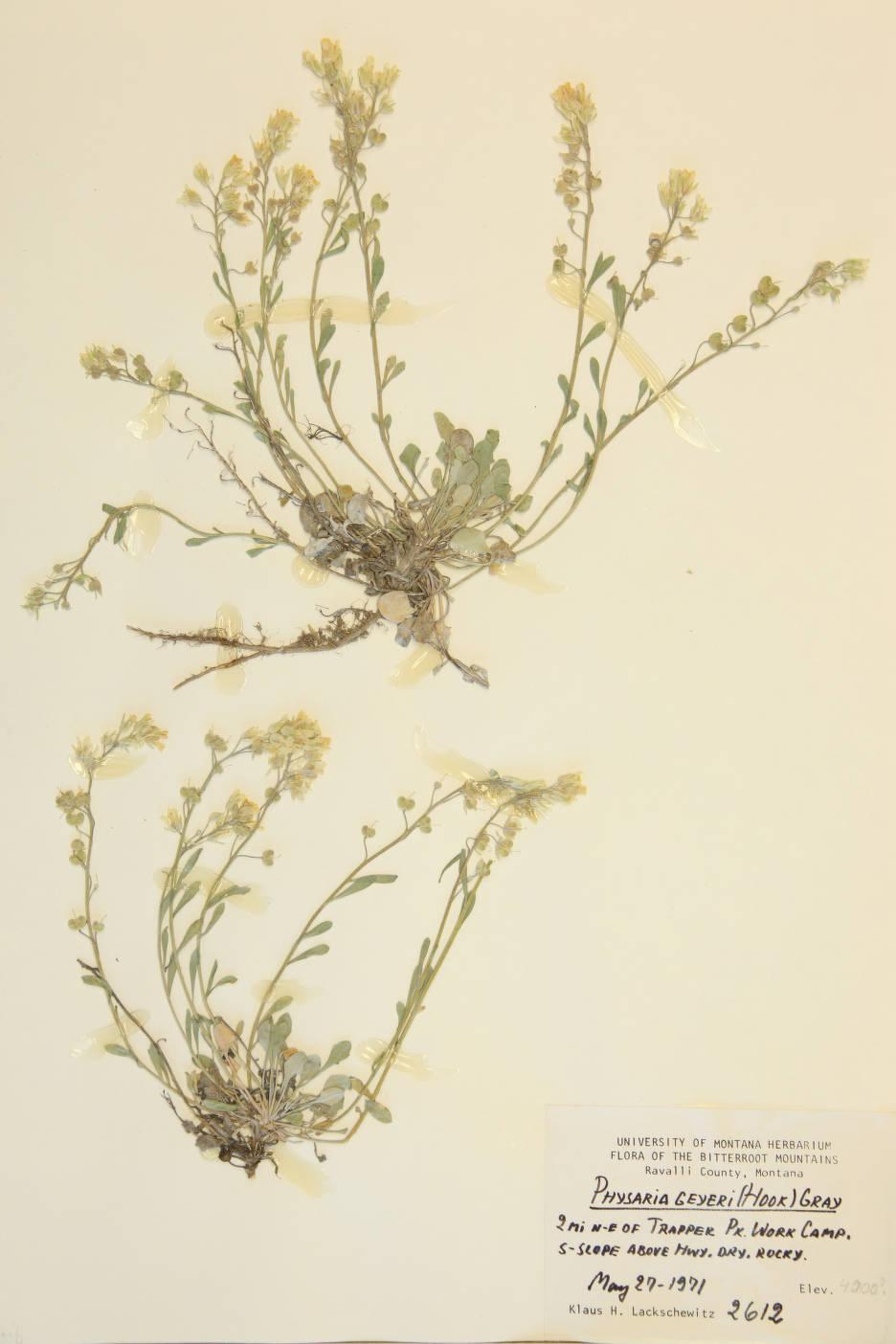 Physaria geyeri image