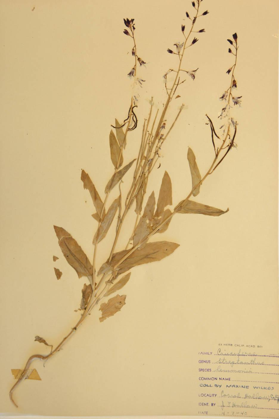 Streptanthus lemmonii image