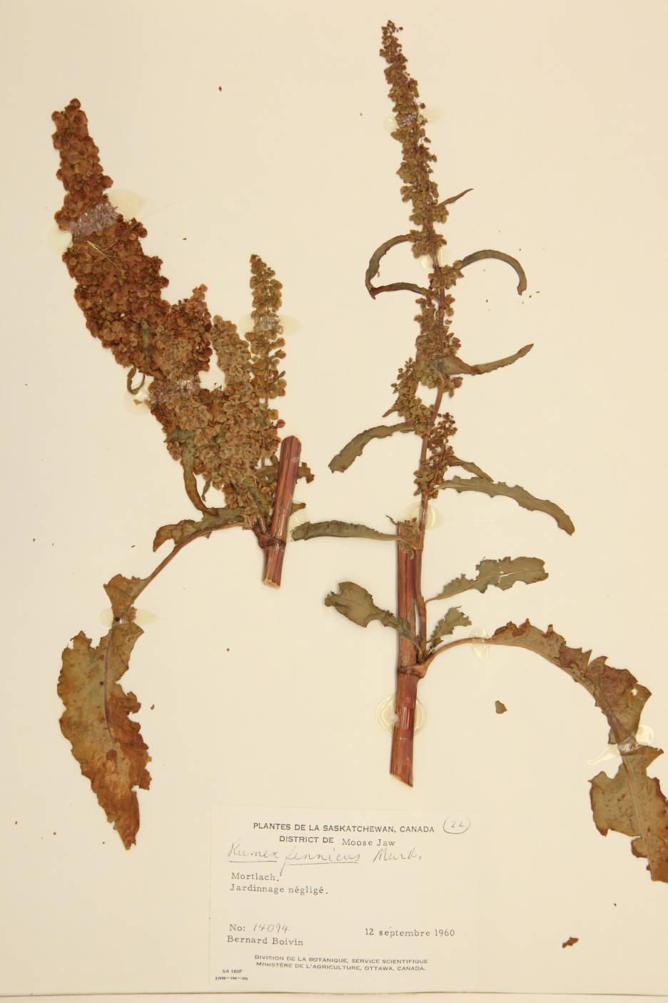 Rumex fennicus image