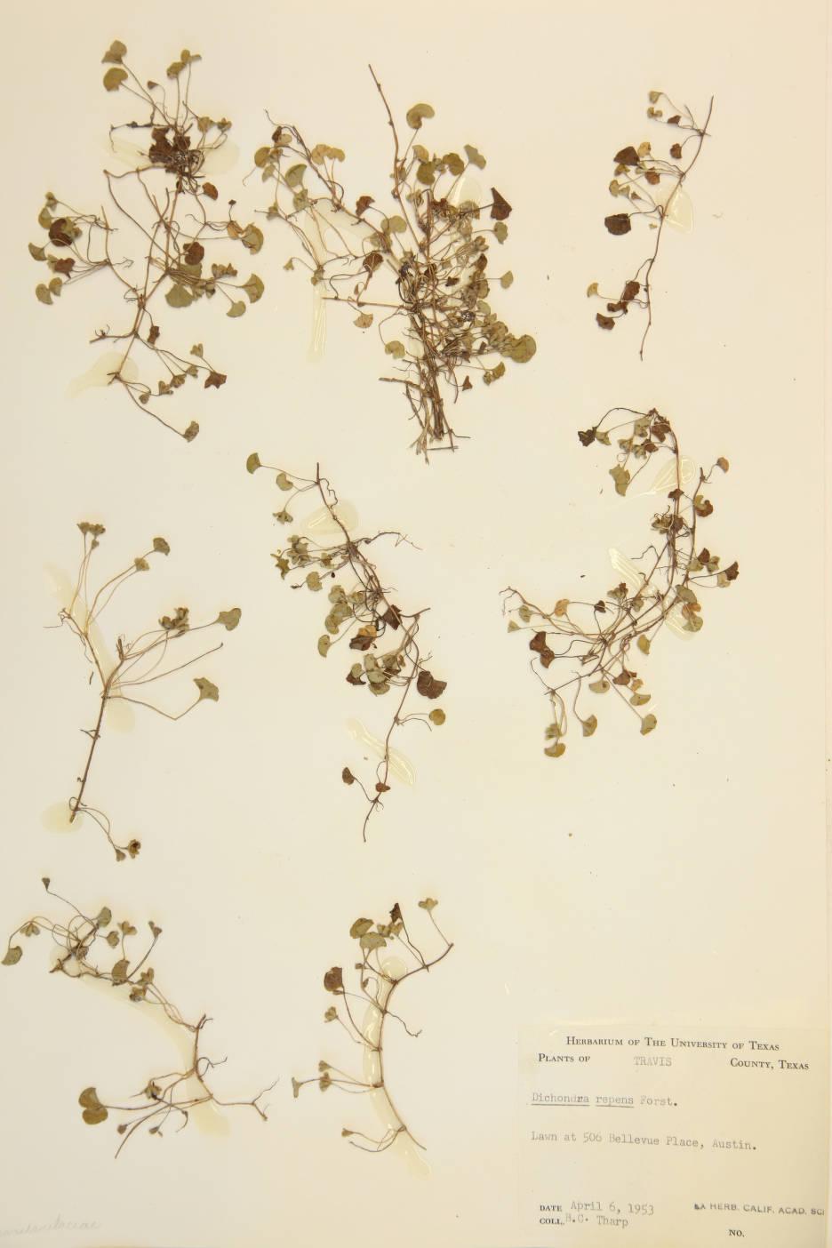 Dichondra micrantha image