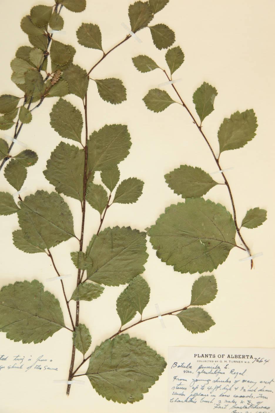 Betula glandulosa var. glandulifera image
