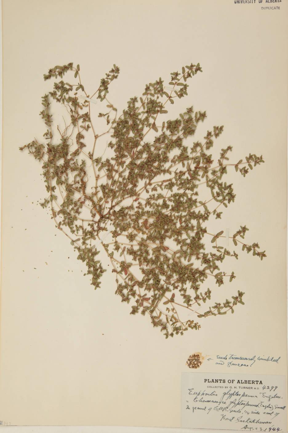 Euphorbia glyptosperma image