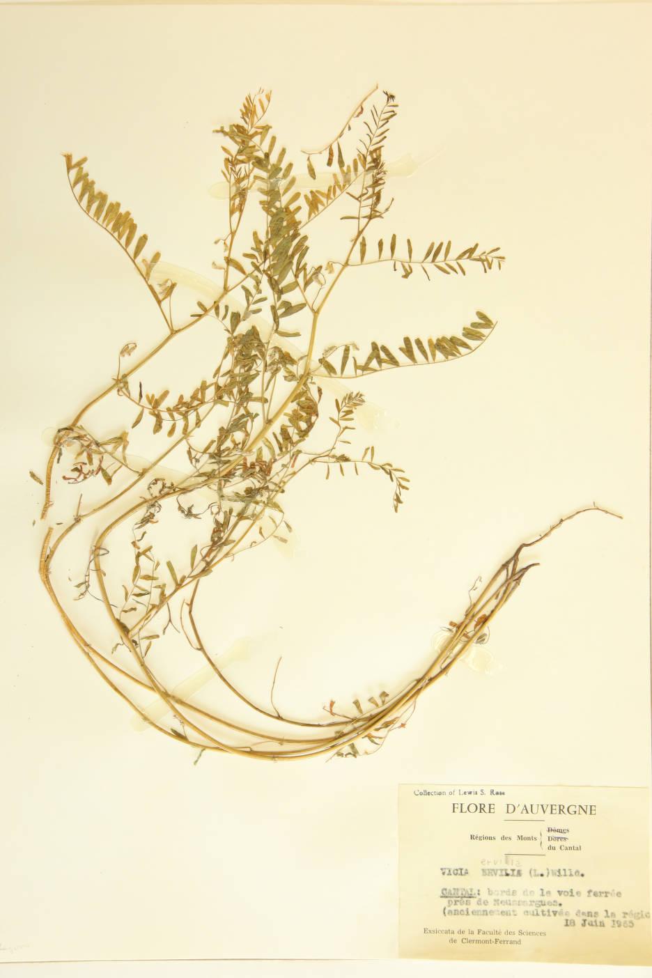 Vicia ervilia image