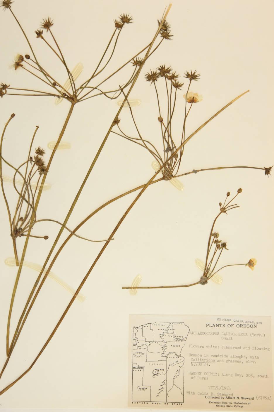 Image of Machaerocarpus californicus