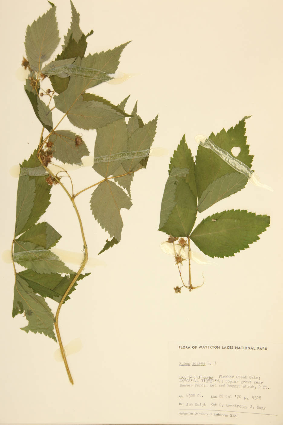 Rubus idaeus image
