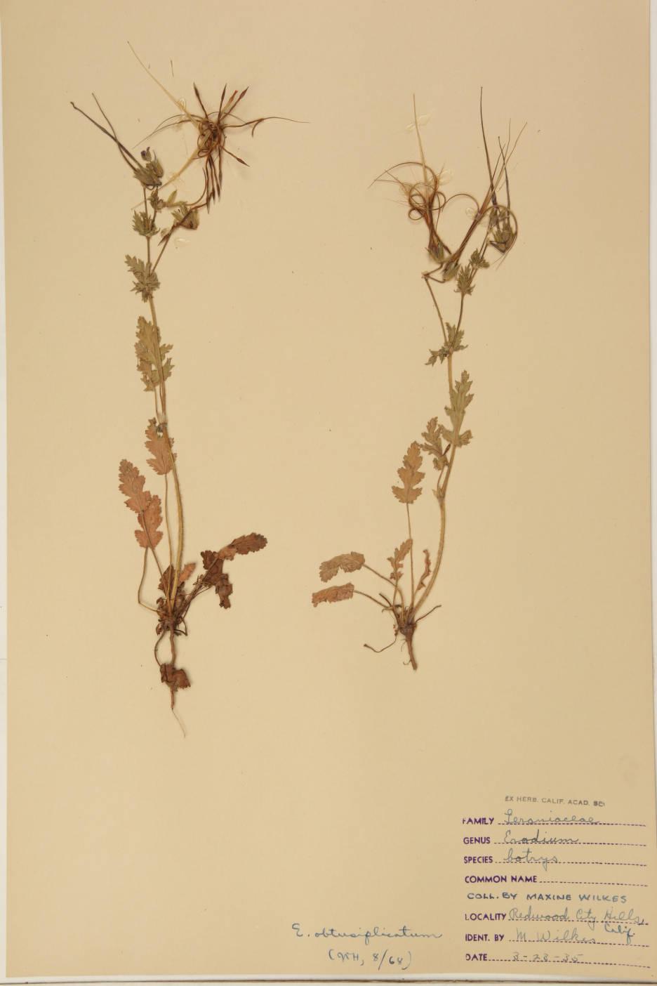 Erodium obtusiplicatum image