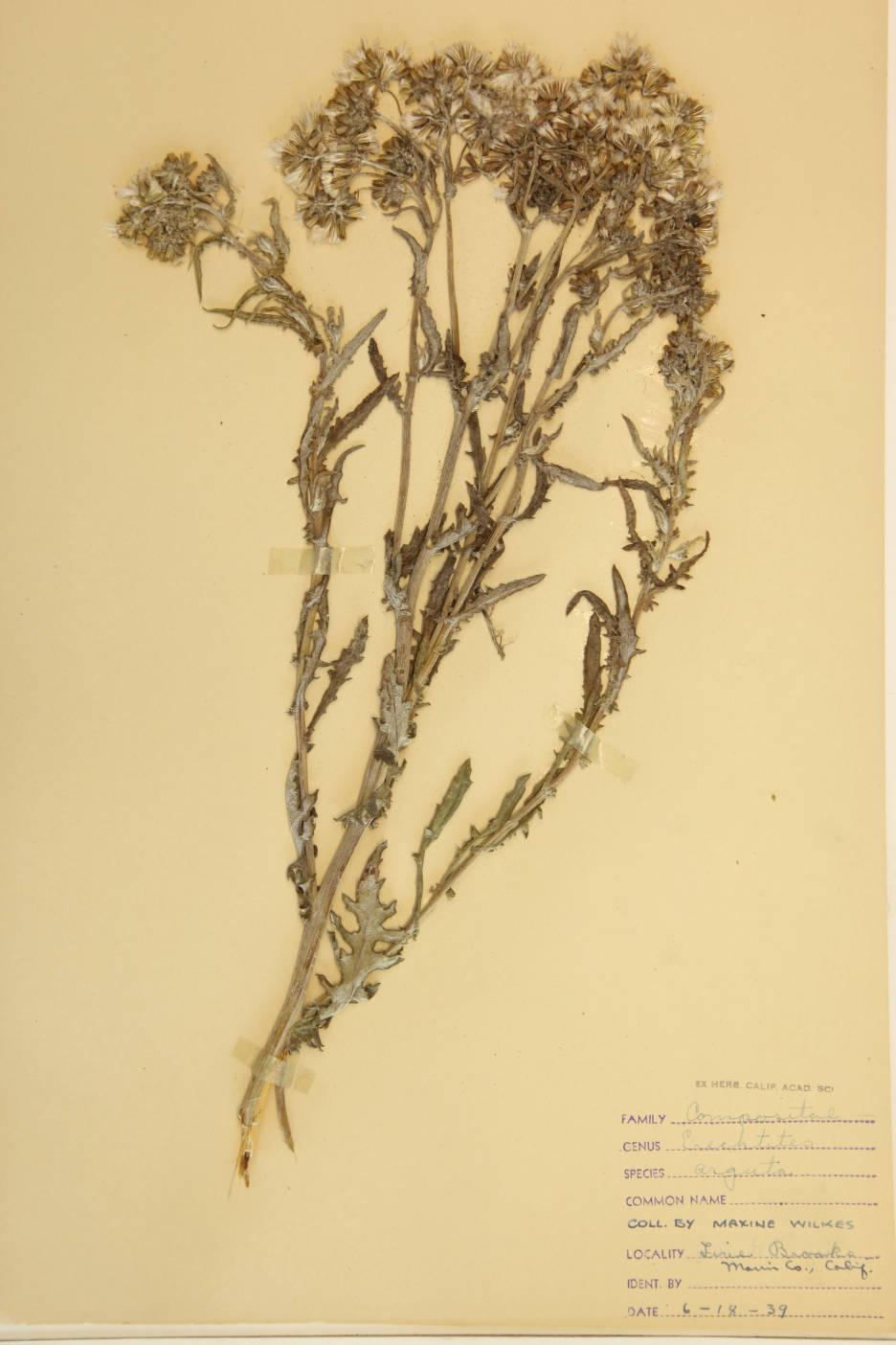 Image of Erechtites arguta