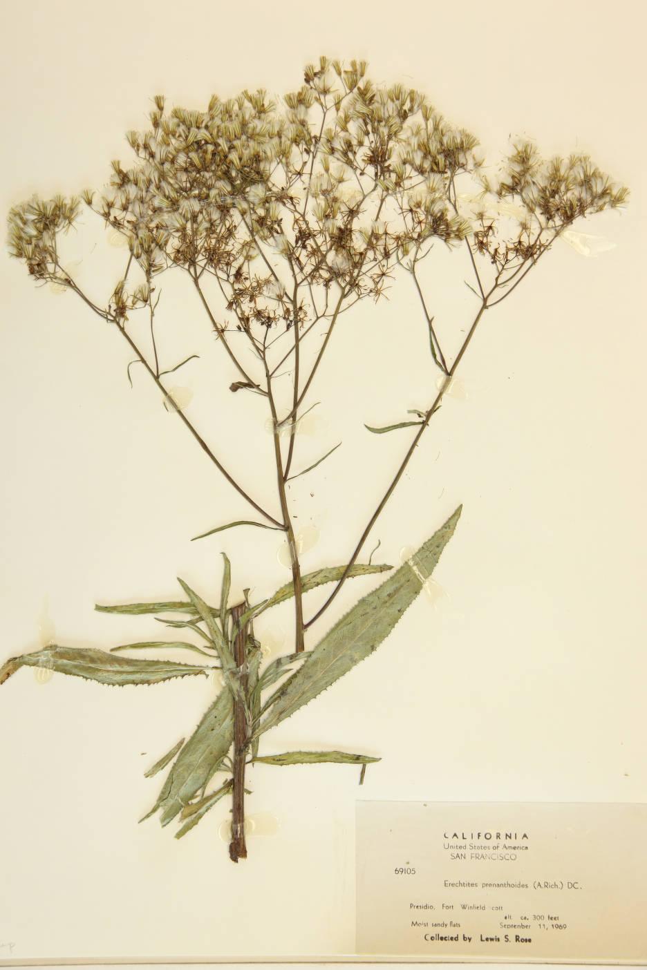 Image of Erechtites prenanthoides