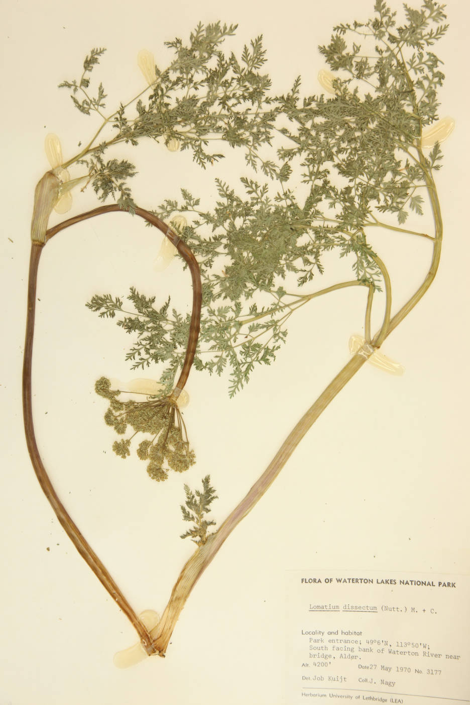 Lomatium dissectum image