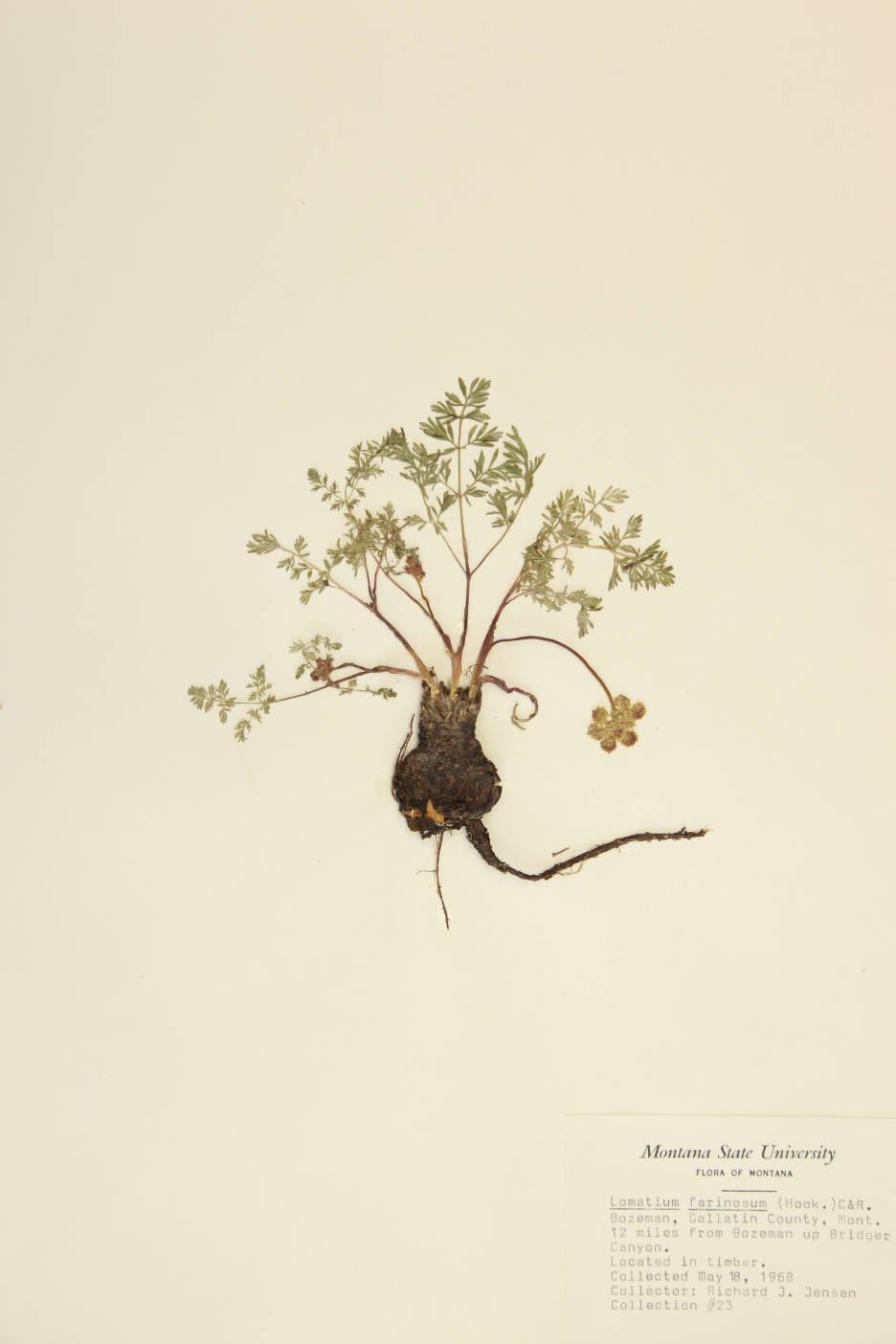 Image of Lomatium farinosum