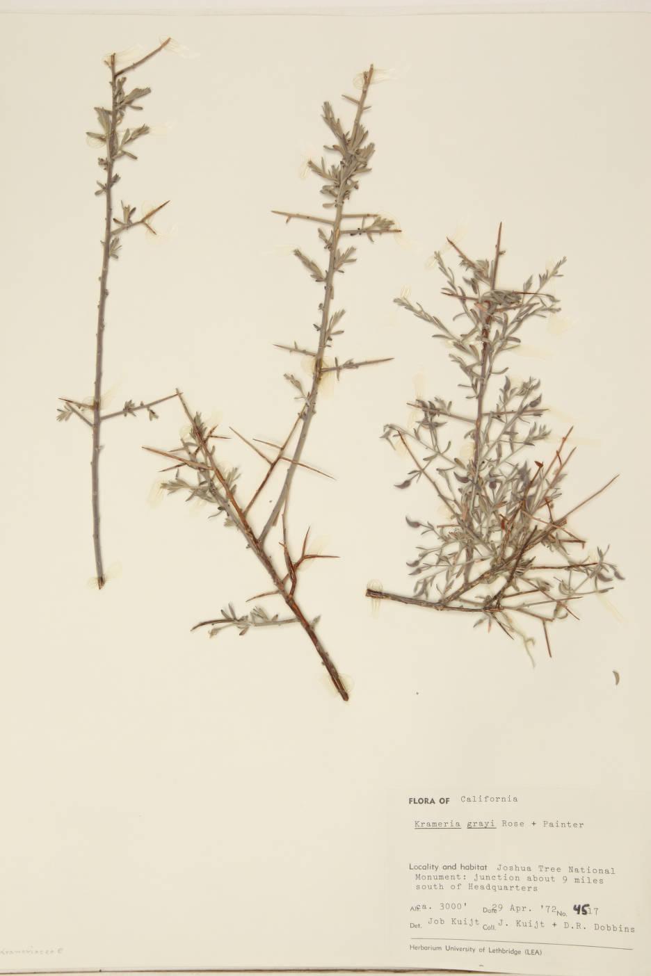 Krameria bicolor image