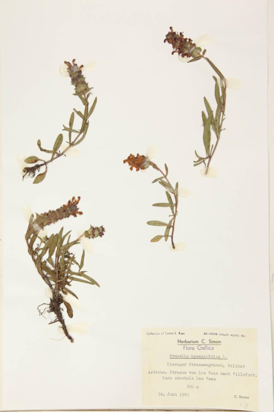 Image of Prunella hyssopifolia