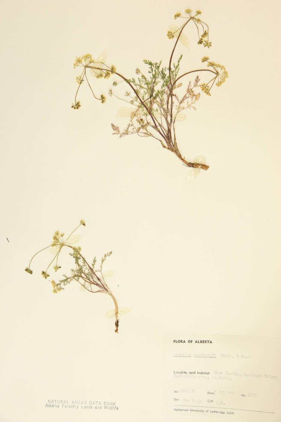 Lomatium sandbergii image