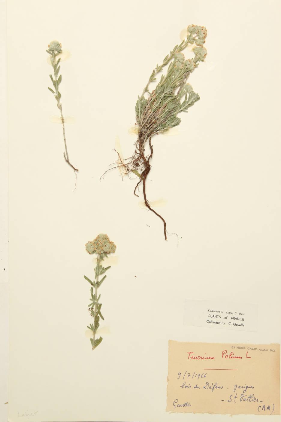 Image of Teucrium polium