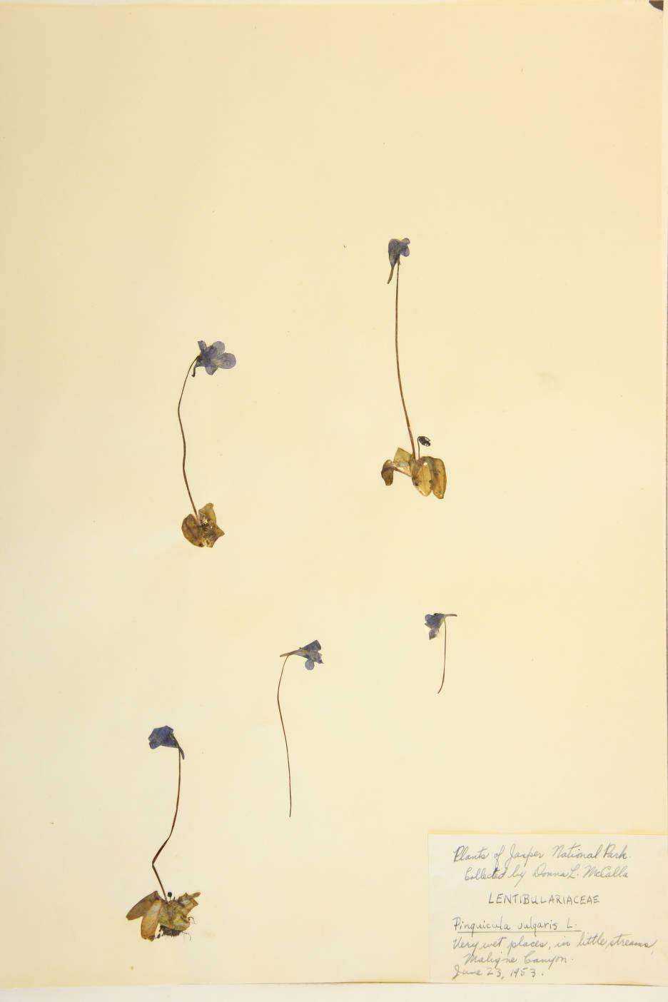 Pinguicula vulgaris image