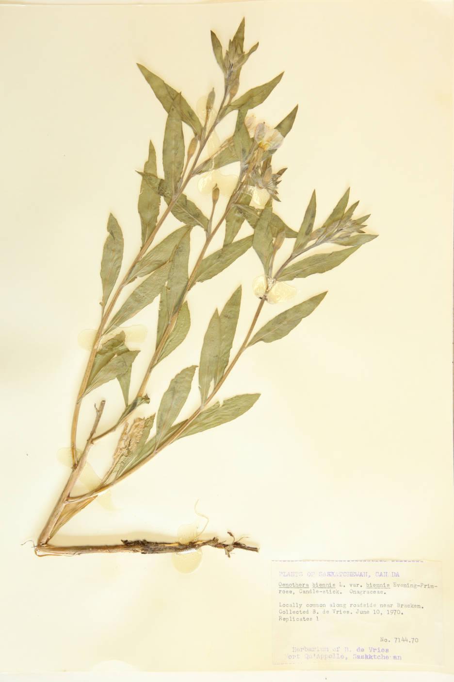 Oenothera biennis var. biennis image