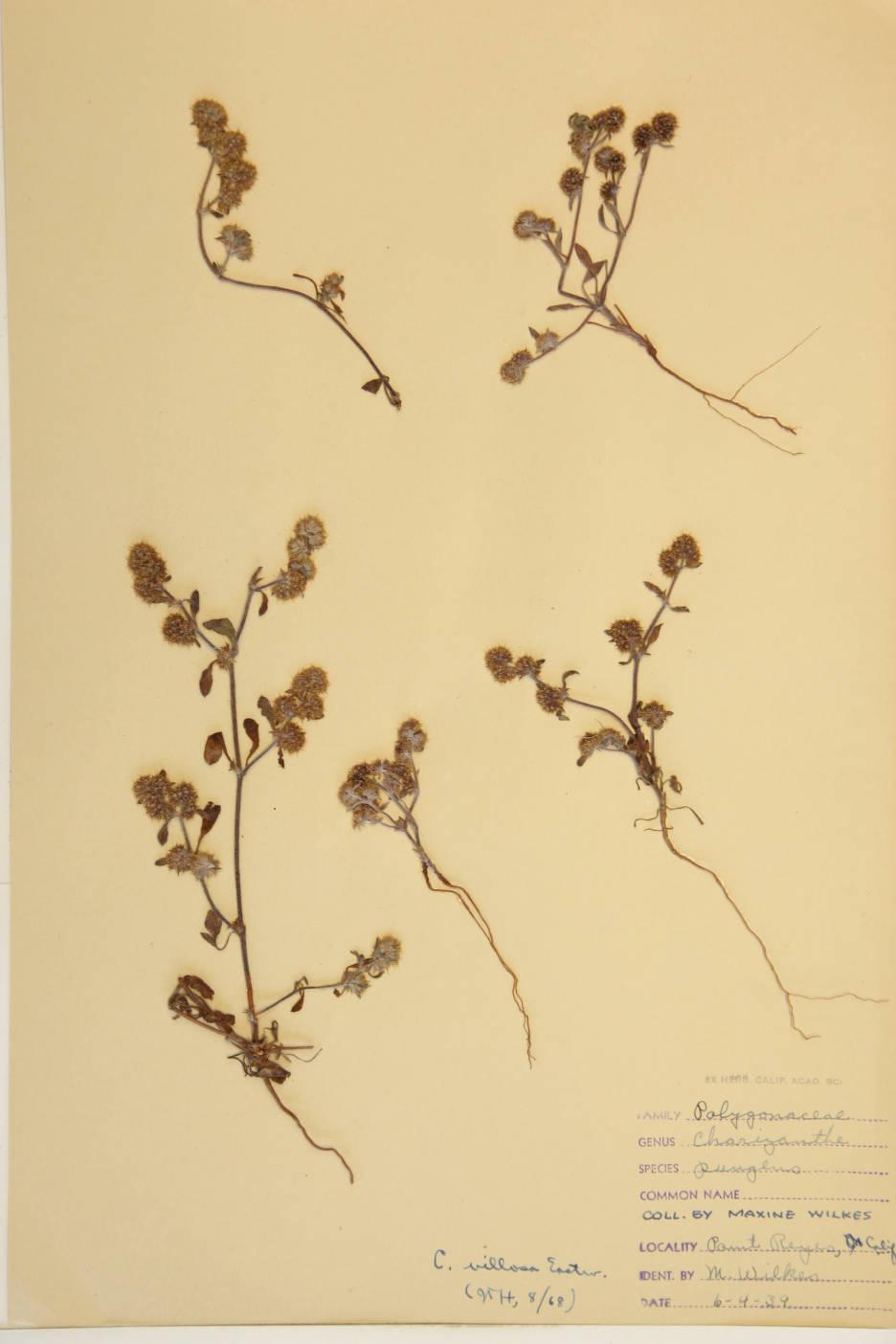 Chorizanthe villosa image