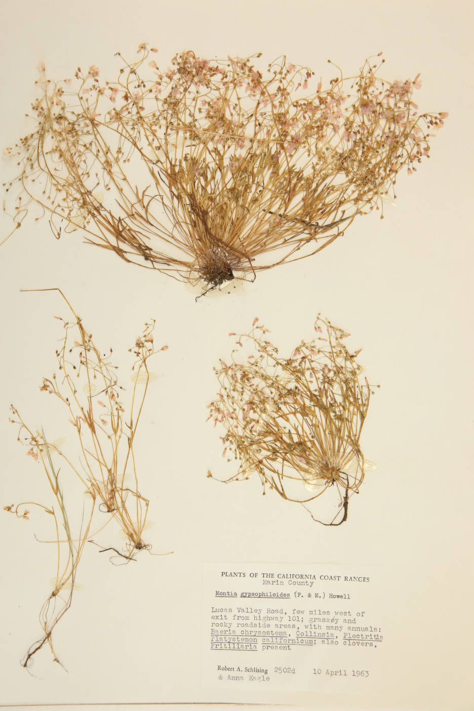 Montia gypsophiloides image