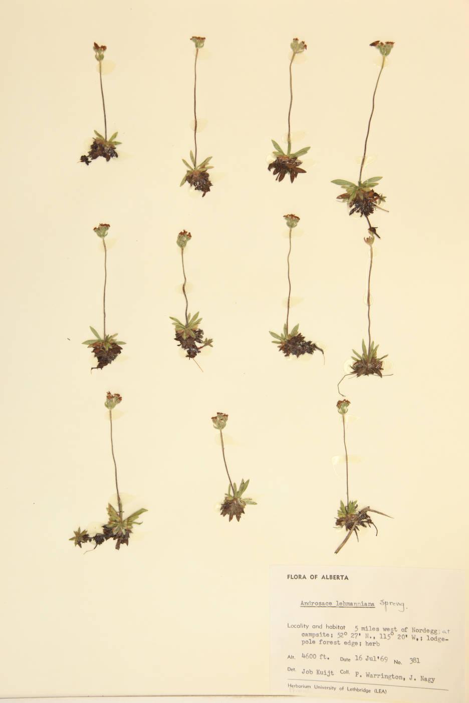Androsace lehmanniana image