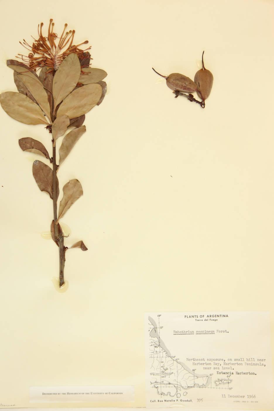 Embothrium coccineum image