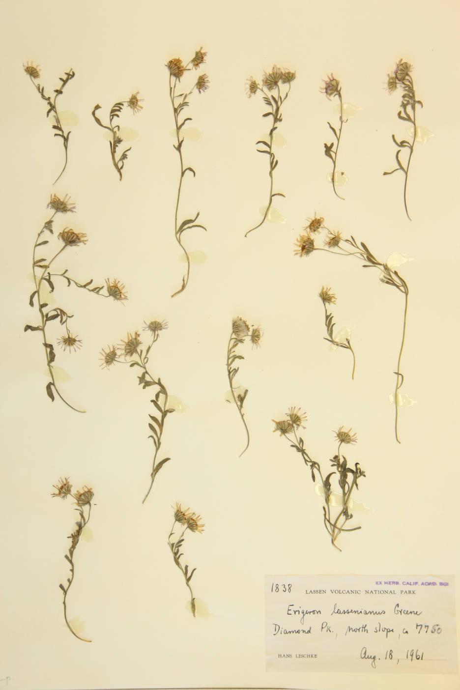 Erigeron lassenianus image