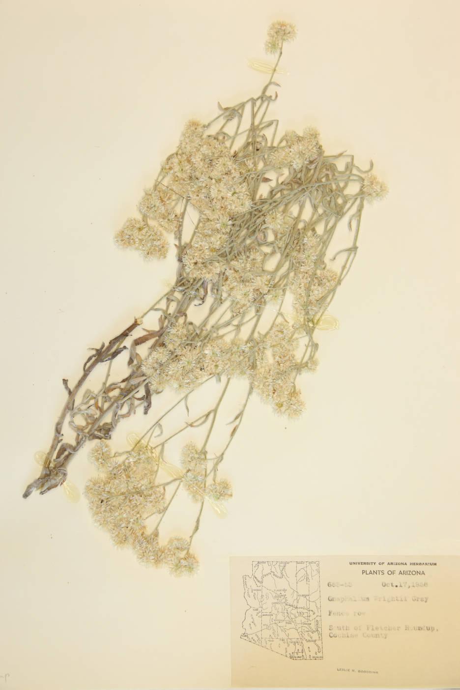Pseudognaphalium canescens subsp. canescens image