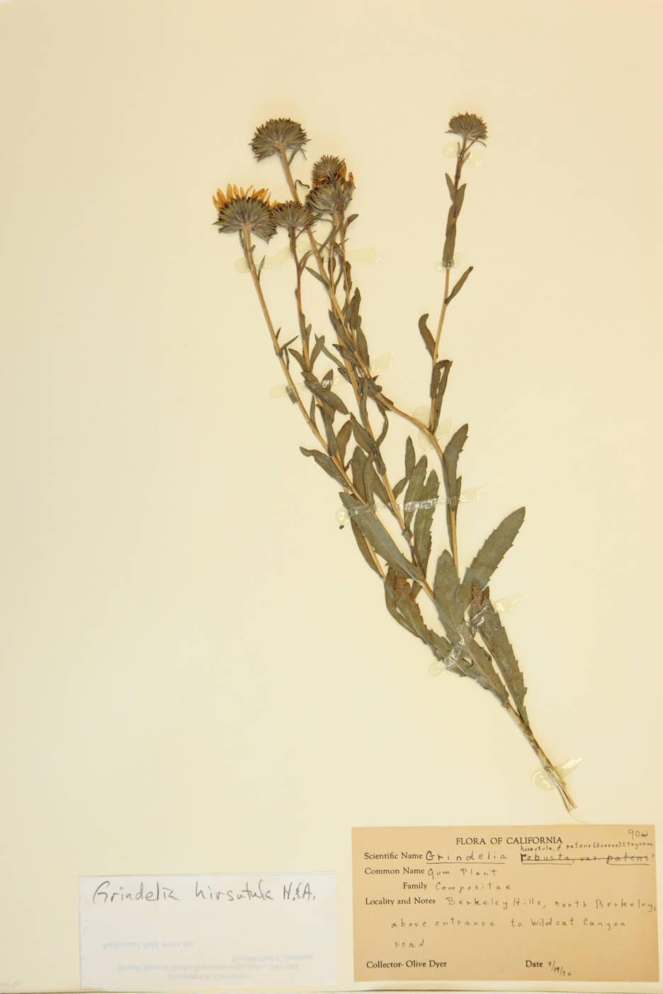 Image of Grindelia humilis