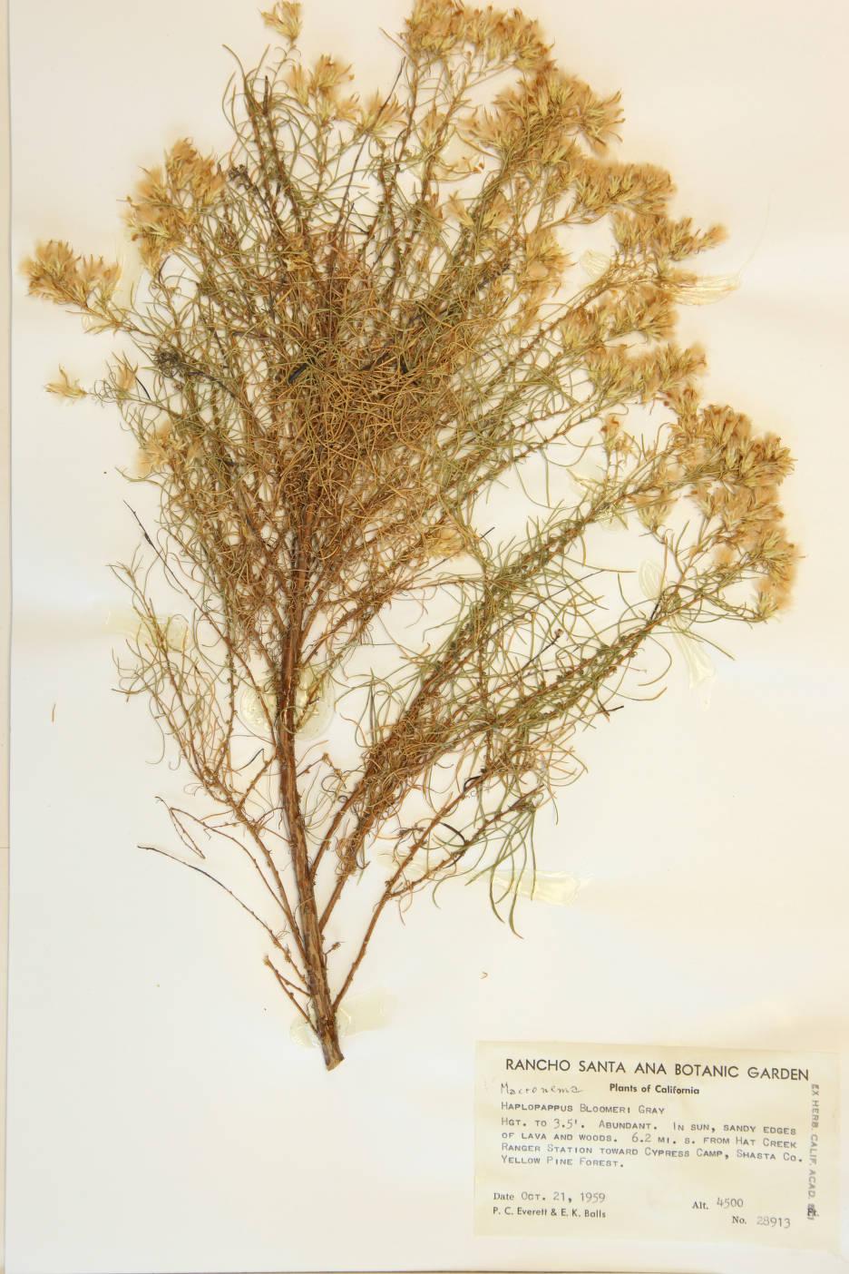Haplopappus bloomeri image
