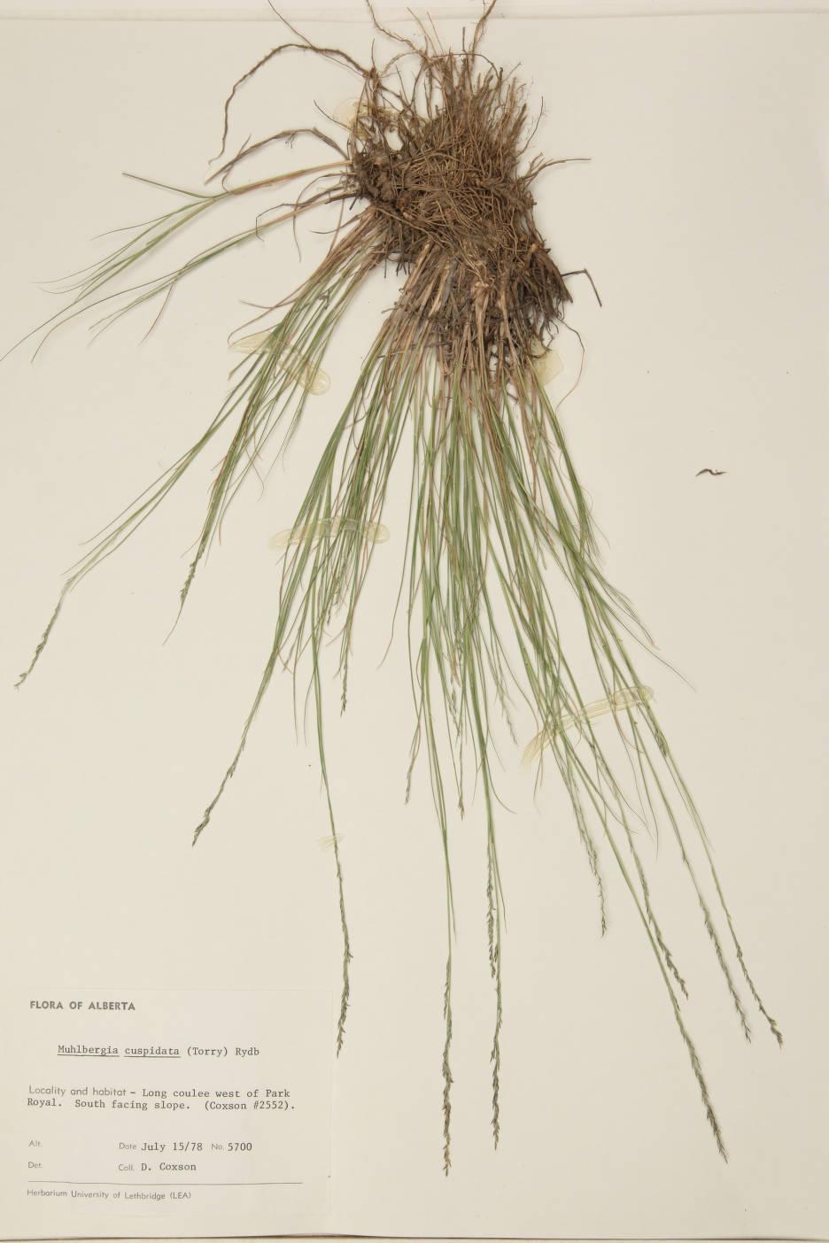Muhlenbergia cuspidata image