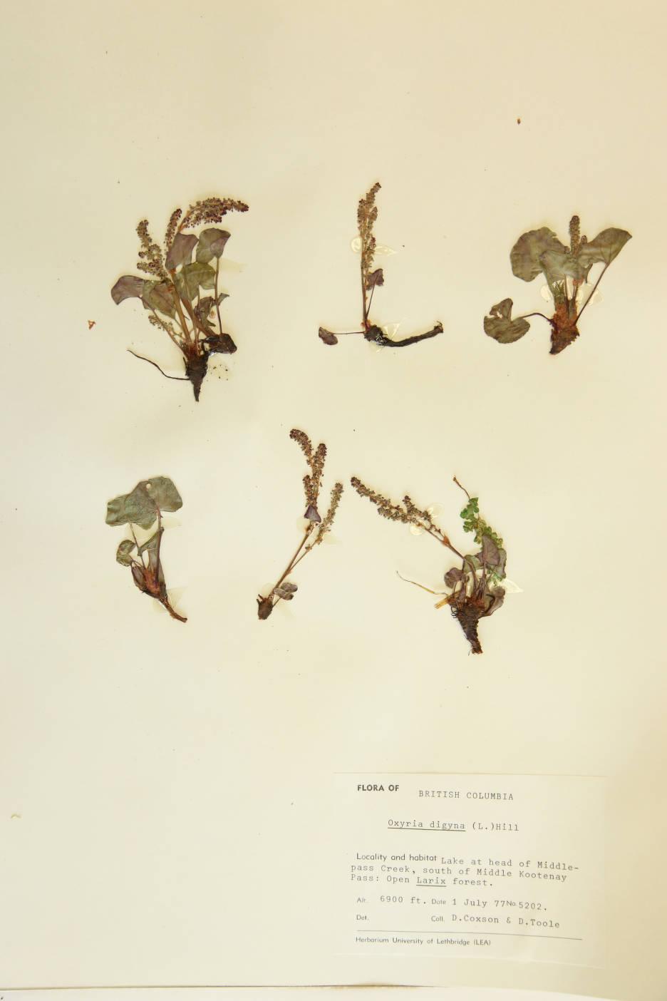 Oxyria digyna image