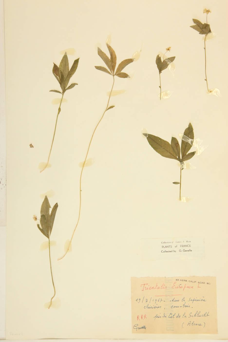 Trientalis europaea image