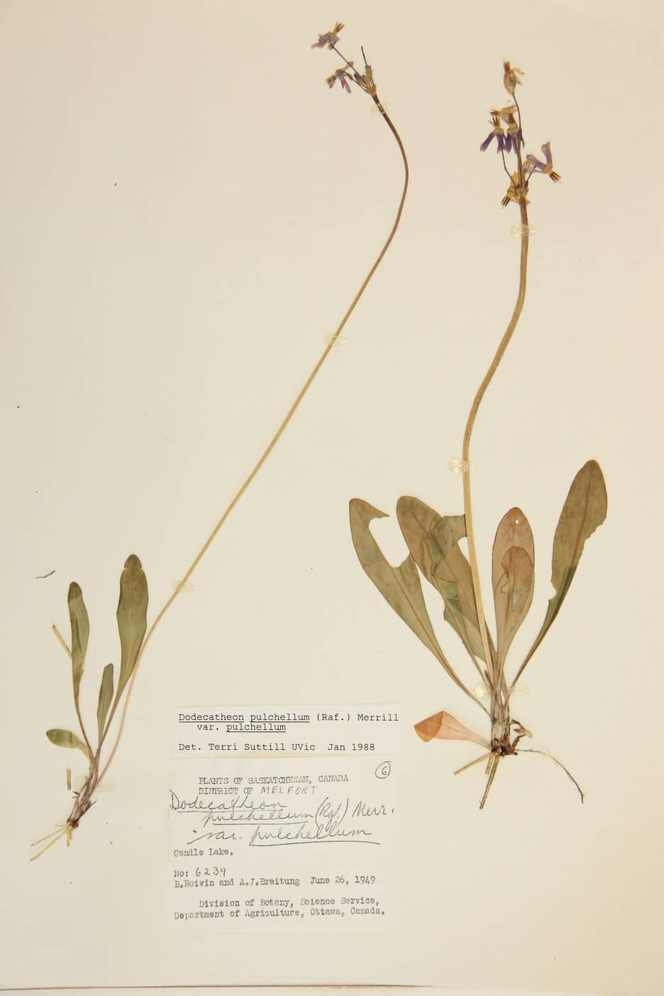 Dodecatheon pulchellum var. pulchellum image