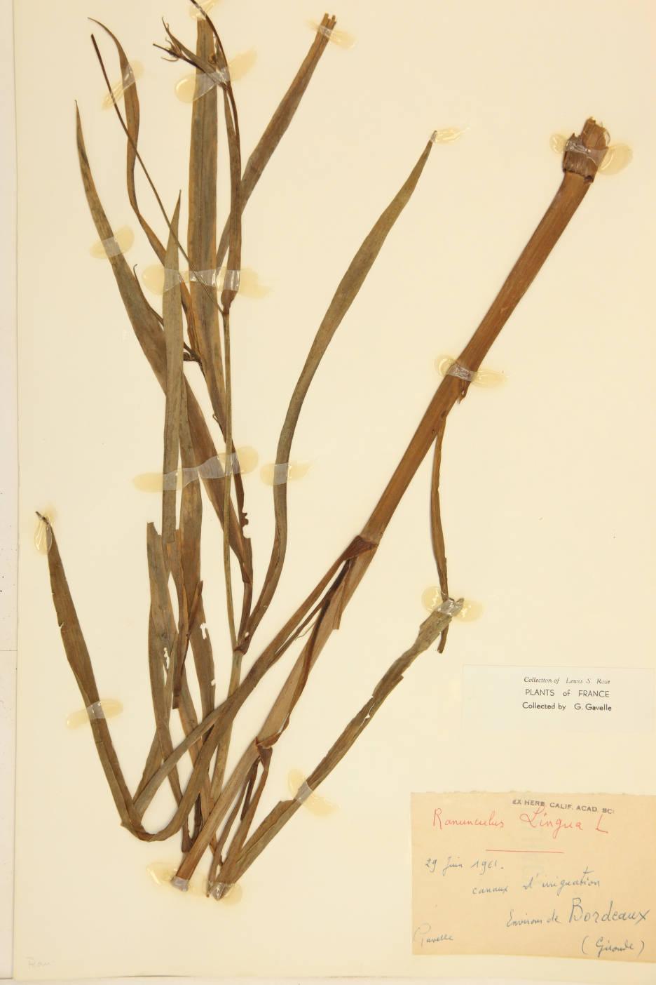 Ranunculus lingua image