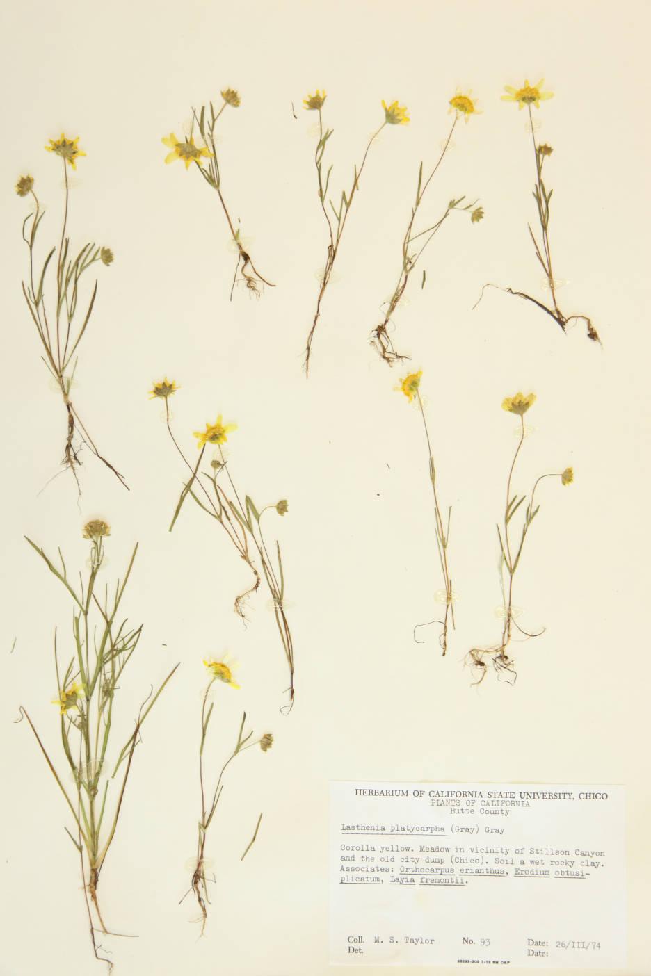 Lasthenia platycarpha image