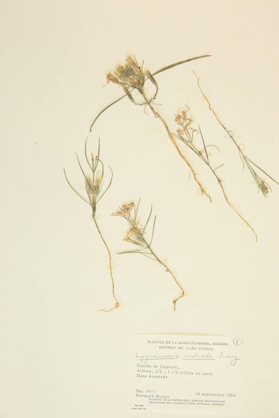 Lygodesmia rostrata image