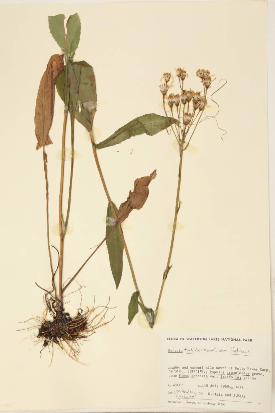 Senecio foetidus image