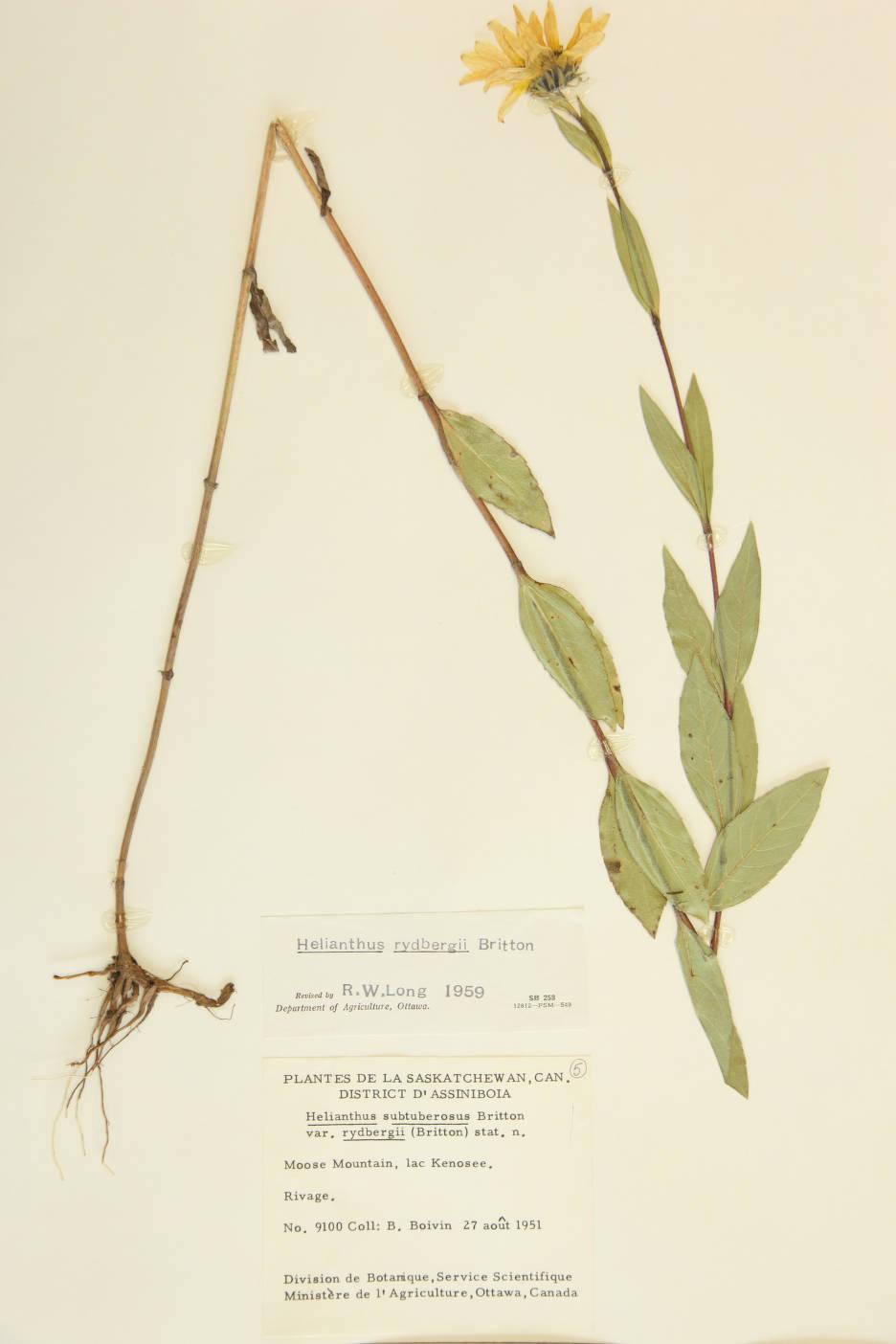 Image of Helianthus rydbergii