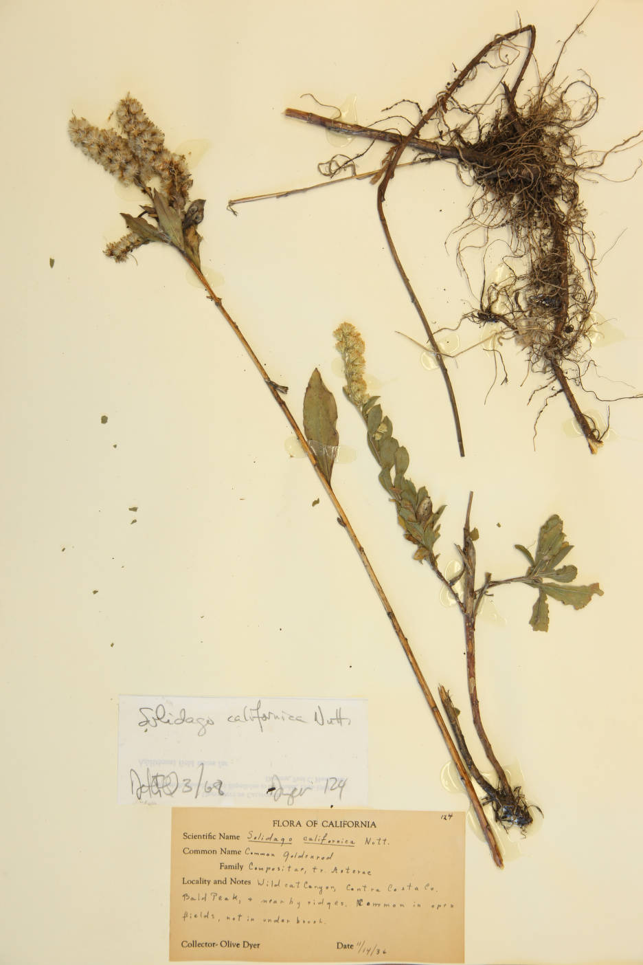 Solidago californica image