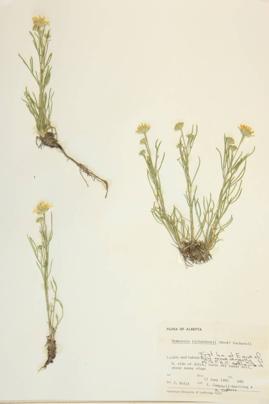 Hymenoxys richardsonii image