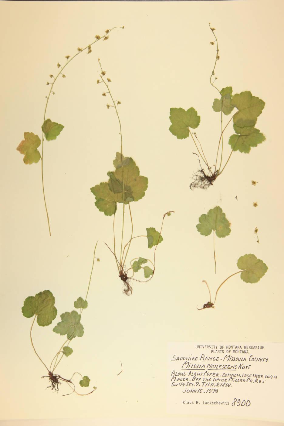 Mitella caulescens image