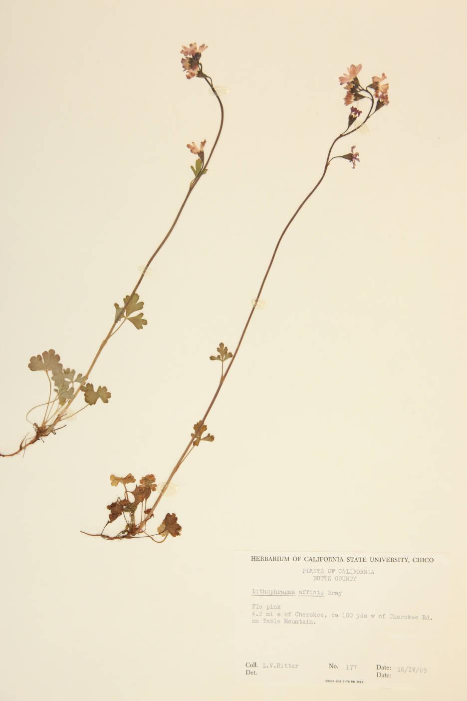 Image of Lithophragma affinis