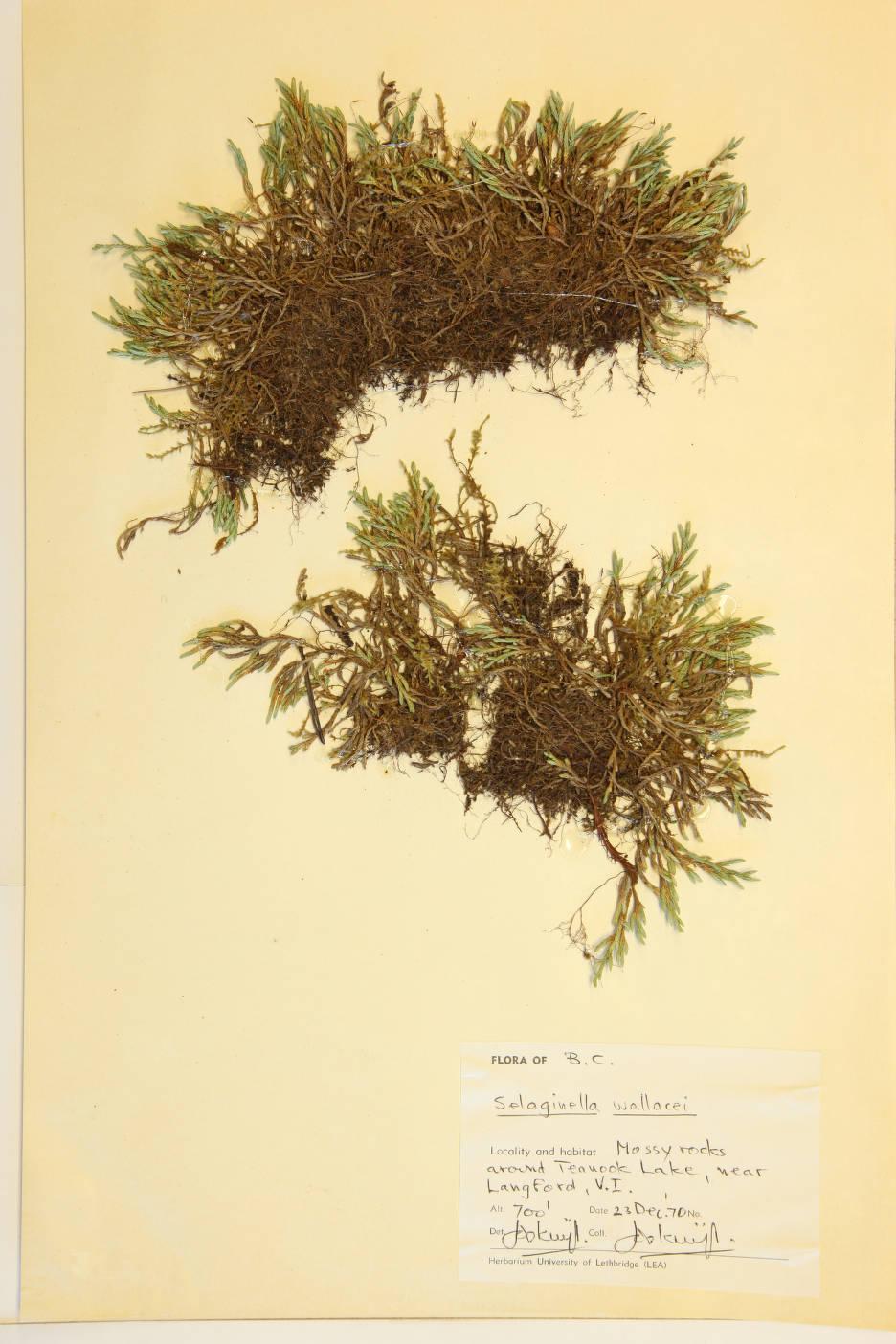 Selaginella wallacei image